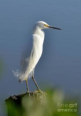 Photograph - Snowy Egret Perched by Kathy Baccari