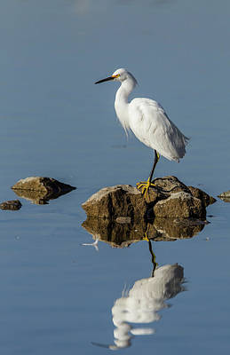 Snowy Egret Perched On Shoreline Rocks Print by Michael Qualls