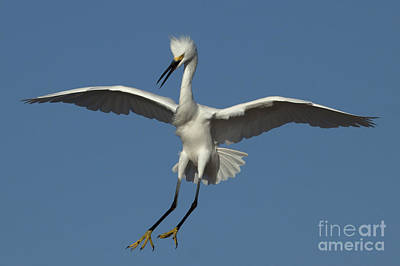 Photograph - Snowy Egret Photo by Meg Rousher