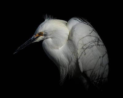 Photograph - Snowy Egret Portrait 2 by Ernie Echols