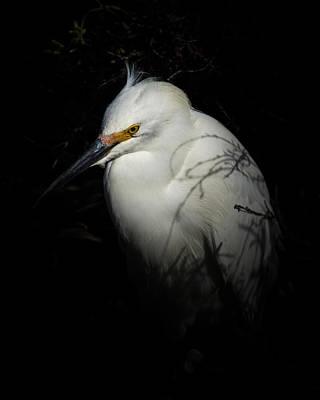 Photograph - Snowy Egret Portrait by Ernie Echols