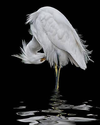 Watercolor Butterflies - Snowy Egret Preening by Brian Tarr