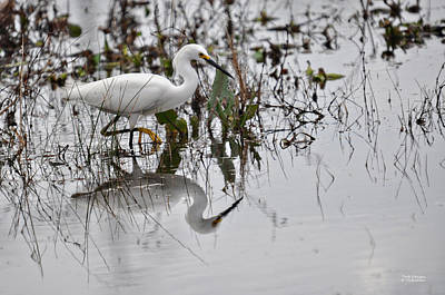 Photograph - Snowy Egret Reflecting by Teresa Blanton