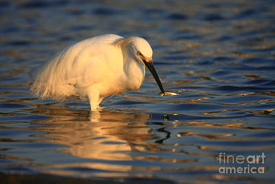 Photograph - Snowy Egret Reflections by John F Tsumas
