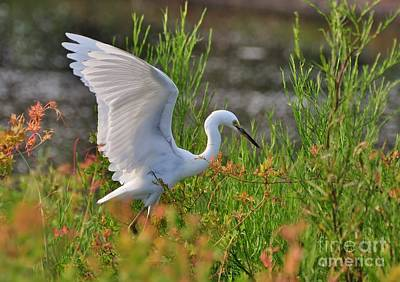 Photograph - Snowy Egret Spreading It's Wings by Kathy Baccari