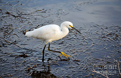 Photograph - Snowy Egret Stalking Its Dinner by Susan Wiedmann