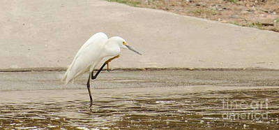 Snowy Egret Taking Advantage Of The Flood Art Print by Donna Brown