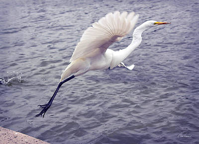 Photograph - Snowy Egret Taking Off by Diana Haronis