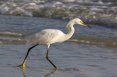 Photograph - Snowy Egret Wading by Ed Gleichman