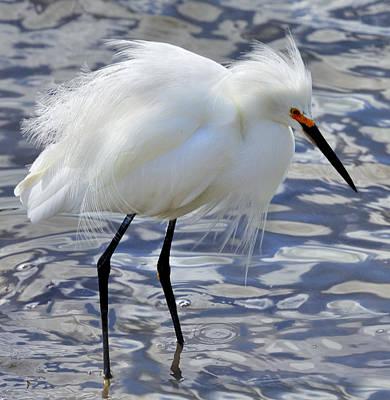 Photograph - Snowy Egret by Walt Sterneman