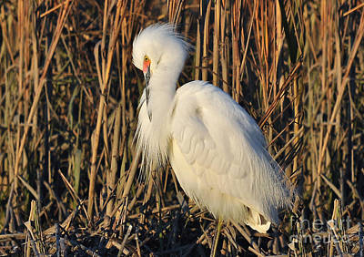 Photograph - Snowy Egret With Breeding Colors by Kathy Baccari