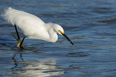 Photograph - Snowy Egret With Snack by Bradford Martin