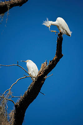 Photograph - Snowy Egrets by Donna Proctor