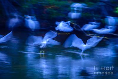 Photograph - Snowy Egrets Landing On Mrazek Pond. by Don Landwehrle
