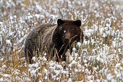Photograph - Snowy Faced Bear by Shari Sommerfeld