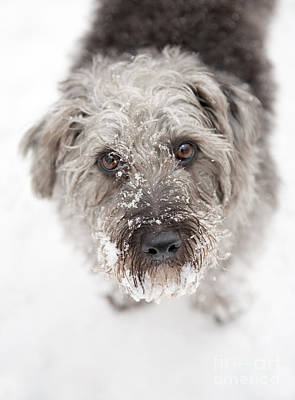 Snowy Faced Pup Art Print by Natalie Kinnear