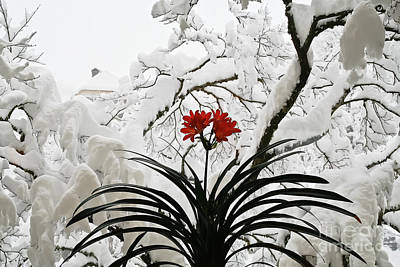 Photograph - Snowy Flower by Elvis Vaughn