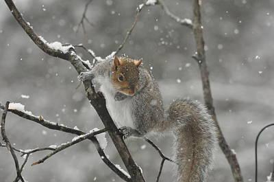 Christmas Squirrel Wall Art - Photograph - Snowy Greetings by Deborah Bifulco