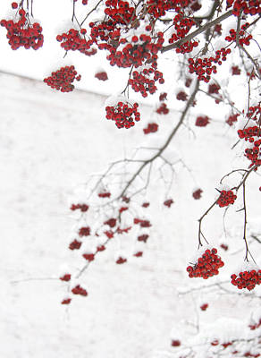 Snowy Hawthorn Berries  Art Print by Jonathan Welch