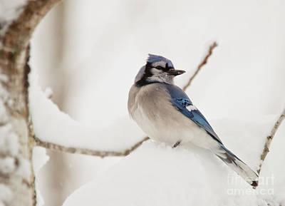 Winter Scene. Winter Landscape. Snow Landscape. Black And White. Birds Photograph - Snowy Jay by Cheryl Baxter