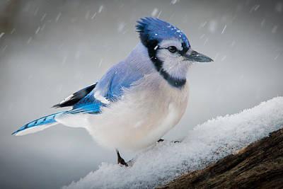 Snowy Jay Art Print