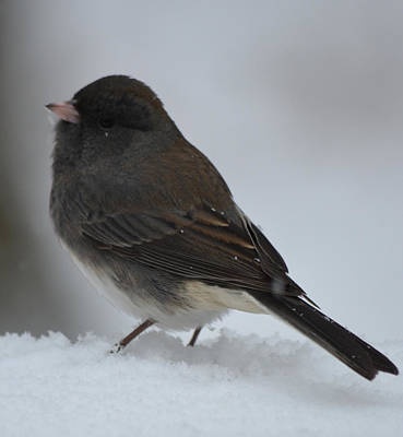 Photograph - Snowy Junco by Richard Bryce and Family
