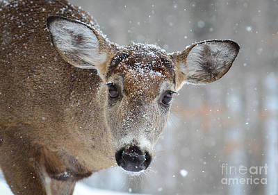 Photograph - Snowy Lashes by Amy Porter