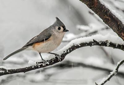 Photograph - Snowy Little Titmouse by Lara Ellis
