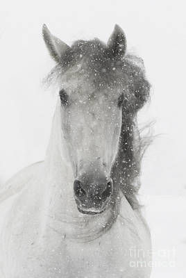 Grey Horse Photograph - Snowy Mare by Carol Walker
