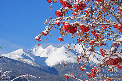 Photograph - Snowy Mountain Ash by Stanza Widen