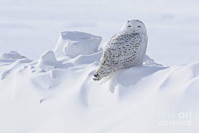 Snowy On A Snowbank Art Print by Larry Ricker