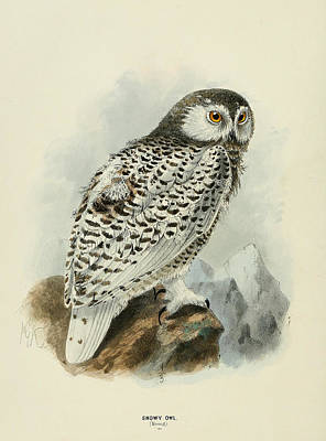 Colored Owl Painting - Snowy Owl 1 by Dreyer Wildlife Print Collections