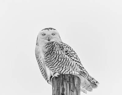 Snowy Owl 2014 1 Black And White Art Print by Thomas Young