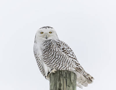 Tommytrout Photograph - Snowy Owl 2014 1 by Thomas Young