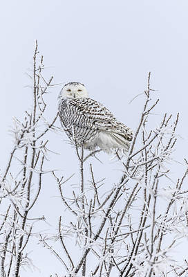 Snowy Owl 2014 4 Art Print by Thomas Young