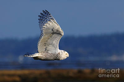Photograph - Snowy Owl 2b by Sharon Talson
