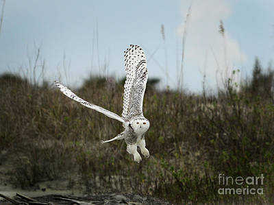 Photograph - Snowy Owl 42 by Cindy McIntyre