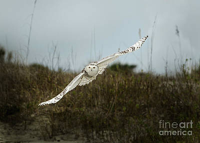 Painting - Snowy Owl 66 by Cindy McIntyre