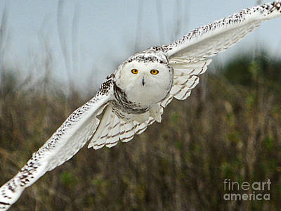 Painting - Snowy Owl 66 Closeup by Cindy McIntyre