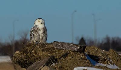 Photograph - Snowy Owl by Aaron J Groen