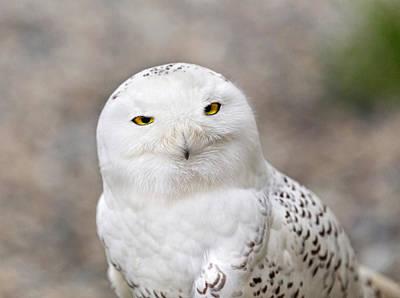 Photograph - Snowy Owl  Alaska by Nathan Mccreery