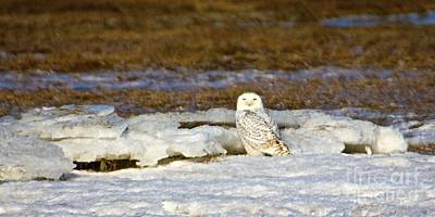 Photograph - Snowy Owl by Amazing Jules