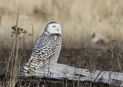 Photograph - Snowy Owl by Angie Vogel