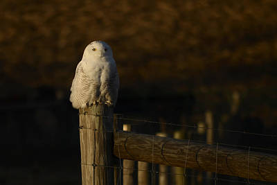 Photograph - Snowy Owl by Ann Bridges