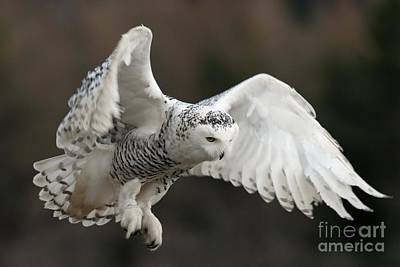 Photograph - Snowy Owl by Annie Haycock