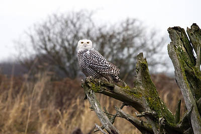 Snowy Owl At Boundary Bay  Art Print by Pierre Leclerc Photography