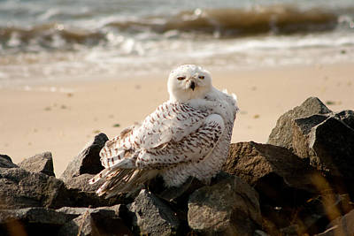 Photograph - Snowy Owl At Forsythe II by Kristia Adams