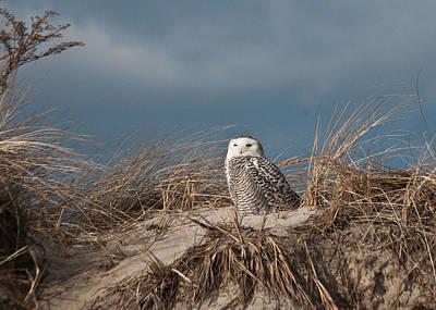 Photograph - Snowy Owl At Hampton by Paul Miller