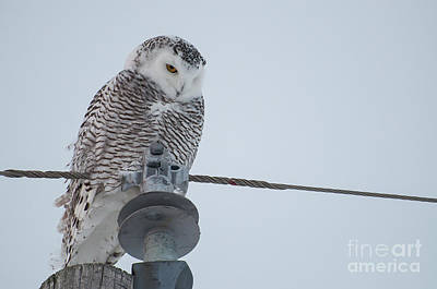 Photograph - Snowy Owl by Bianca Nadeau