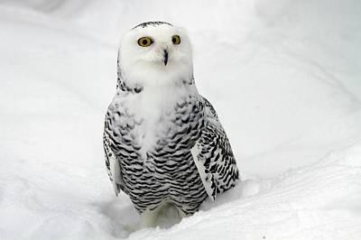 Snowy Owl Photograph - Snowy Owl (bubo Scandiacus) by Photostock-israel